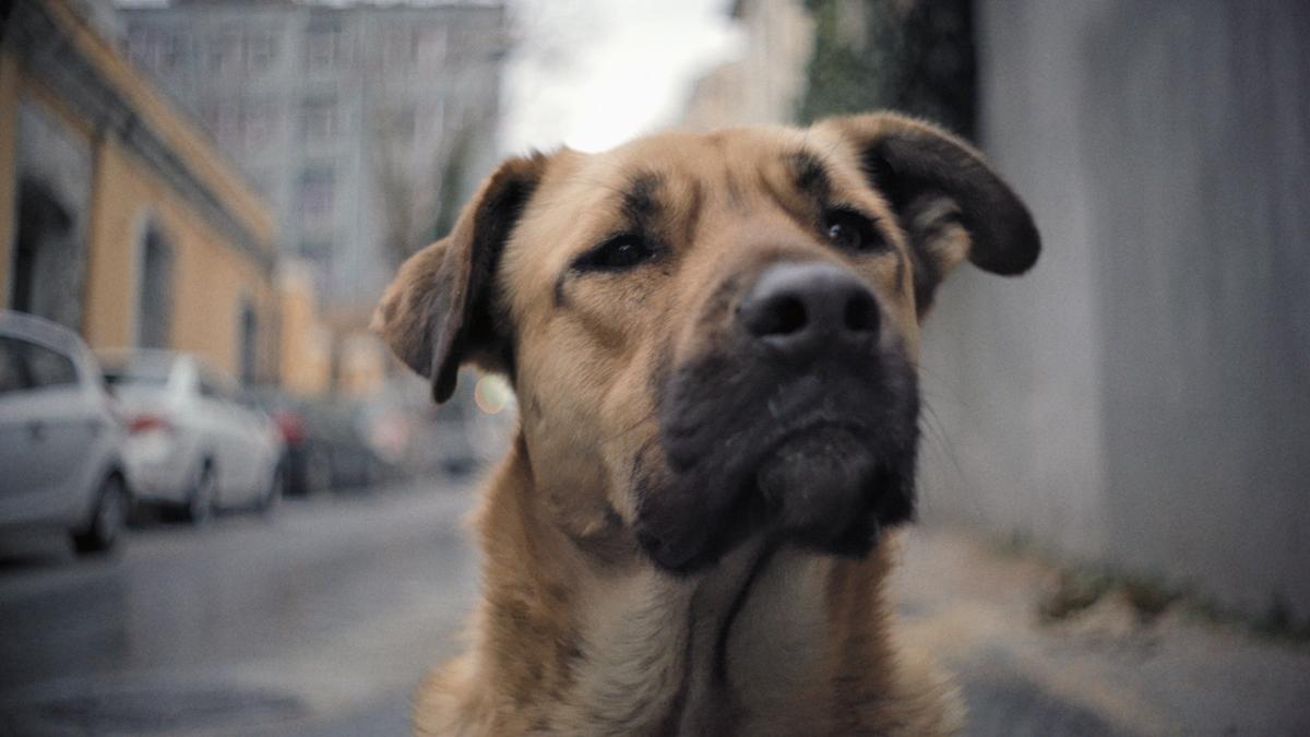 Трио бездомных стамбульских собак в трейлере документального фильма «Бродячие»